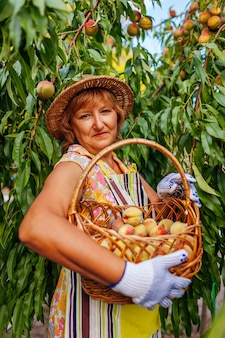 Senior woman picking ripe organic peaches in summer orchard holding basket