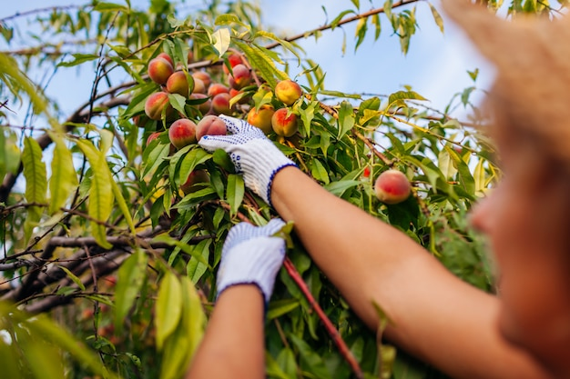 Senior woman picking ripe organic peaches in summer orchard