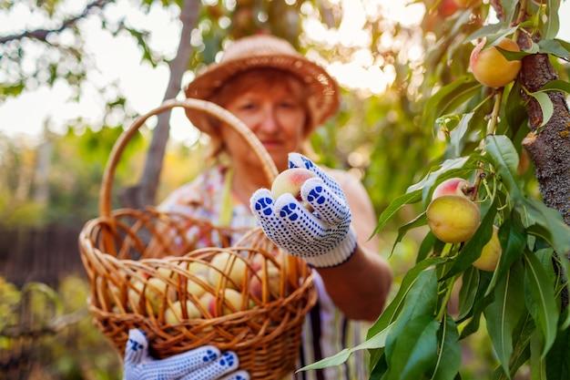 Senior woman picking ripe organic peaches in summer orchard.