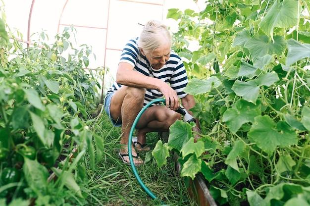 年配の女性が温室で熟していないキュウリに水をまく