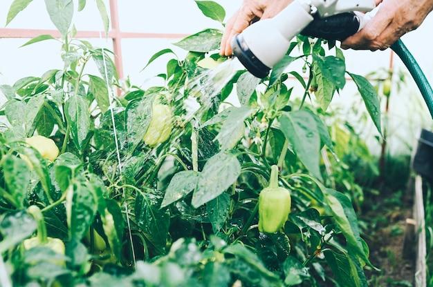 温室で熟していない野菜に水をまく年配の女性