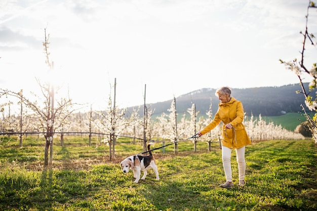 A senior woman with a pet dog on a walk in spring orchard nature.