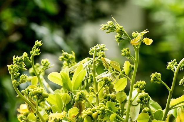 セナシャメア、枝の花と緑の葉。