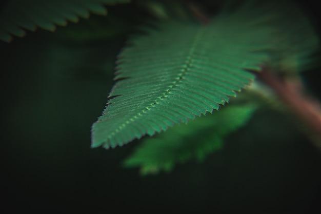Sensitive plant leaves