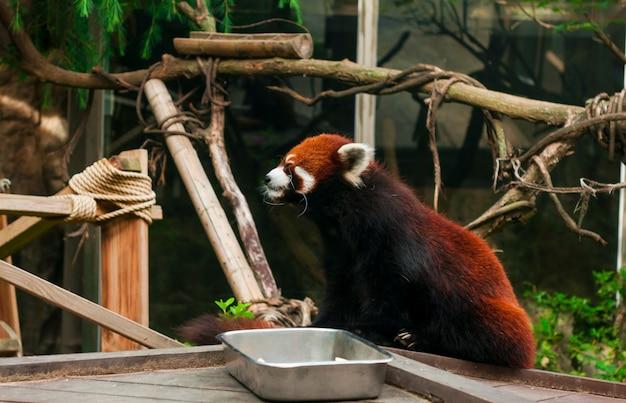 서울 동물원 레드 팬더
