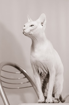 Sepia photography of cat of the sphynx breed sitting on chair and looking at the left