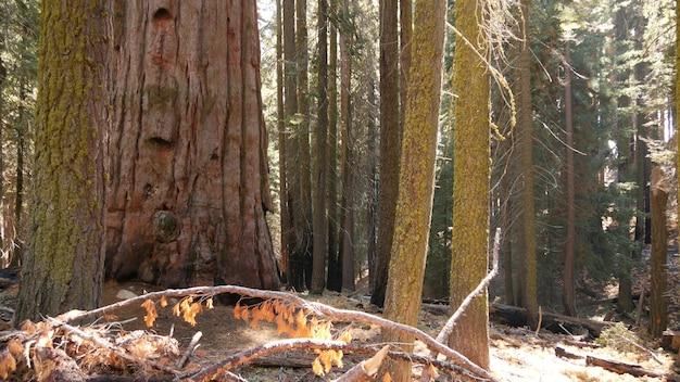 Лес секвойи, деревья красного дерева в калифорнии, сша. старый лес, кингз-каньон. сосна хвойная