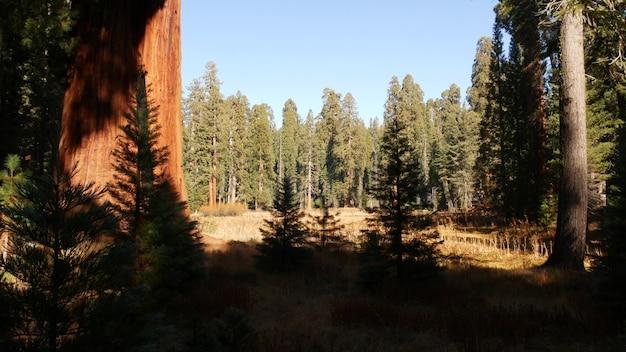 セコイアの森、米国カリフォルニア州北部の国立公園のレッドウッドの木。キングスキャニオン近くの原生林。トレッキングとハイキングの観光。巨大な背の高い幹を持つユニークなラグレ針葉樹松。