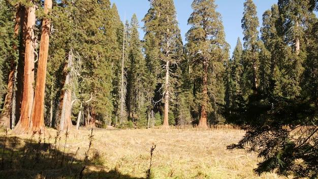 Секвойя лес секвойи в национальном парке северная калифорния, сша, старый лес, недалеко от каньона кингс, треккинг и пеший туризм, уникальные хвойные сосны с массивными высокими стволами