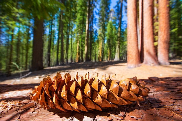 Sequoia pine cone macro in yosemite mariposa grove
