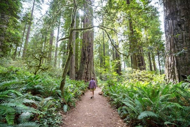 Лес секвой в летний сезон