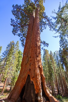 Sequoias in mariposa grove at yosemite national park