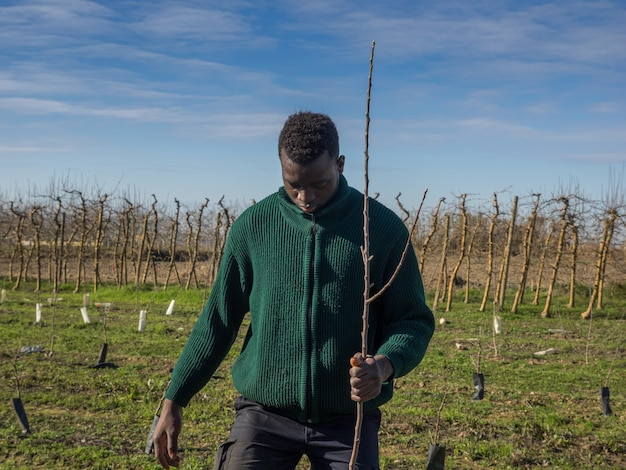 Series of an african farmer planting fruit trees on a sunny winter day. agriculture concept.