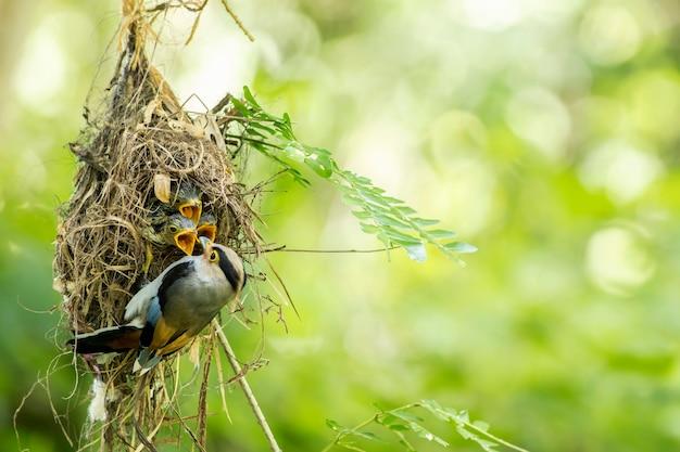 シルバーブレストヒロハシ科(serilophus lunatus)の巣で赤ちゃんに餌をやる
