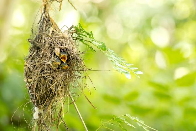 Серебристогрудый бродбилл (serilophus lunatus) младенец в гнезде