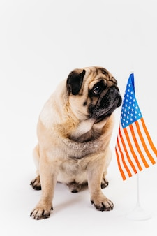 Serious adult pug dog and american flag
