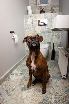 トイレの前に座っている深刻なボクサー犬