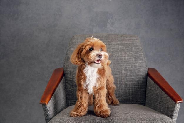 심각한 소년. 말티푸 작은 강아지가 포즈를 취하고 있습니다. 회색에서 노는 귀여운 장난 갈색 개
