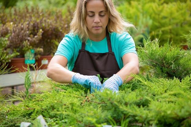 Серьезная садовница, выращивающая туи в горшках. блондинка в синей рубашке, перчатках и фартуке работает с вечнозелеными растениями в теплице. коммерческое садоводство и летняя концепция