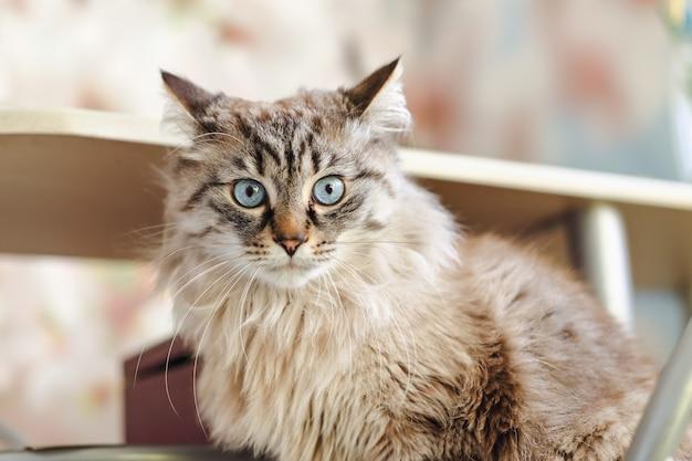 Серьезный взгляд кошки с длинной шерстью. кот сидит на заднем плане кухонного стола.