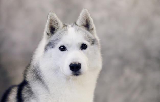 회색과 흰색 시베리안 허스키 강아지의 심각한 모습.