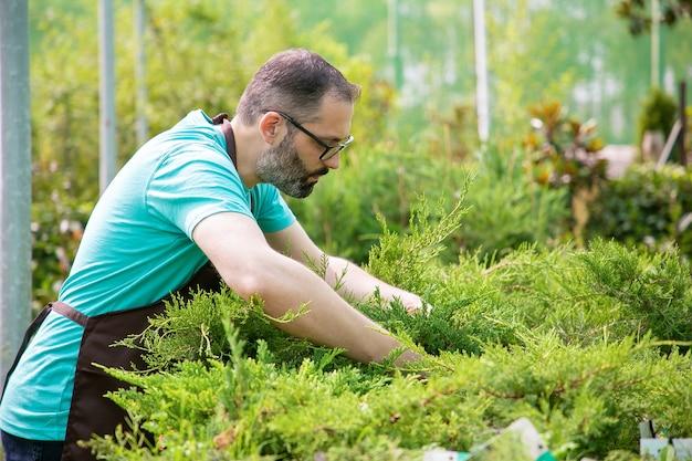 鉢植えでクロベを育てる真面目な男性の庭師。青いシャツとエプロンを着て温室で常緑植物を扱う眼鏡をかけた白髪の男。商業園芸活動と夏のコンセプト