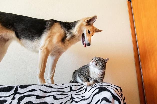 장난꾸러기 개 근처 집에서 침대에 누워 있는 심각한 늙은 줄무늬 고양이
