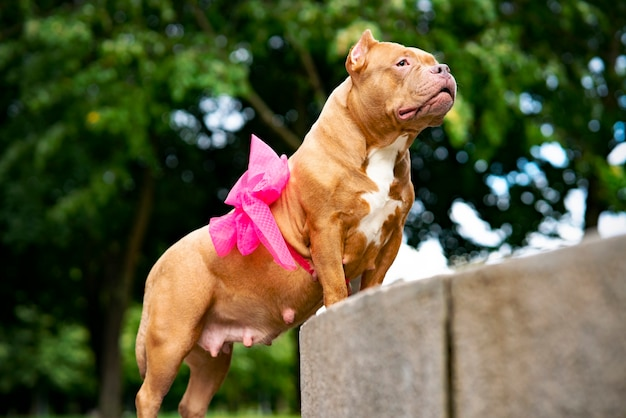 Serious pet american bully. portrait of a pregnant dog with a ribbon, a bow on the belly.