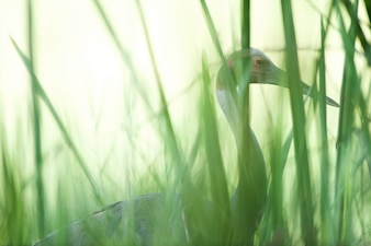 Serus crane walking through a rice field