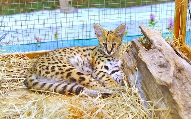 Serval cat in cage