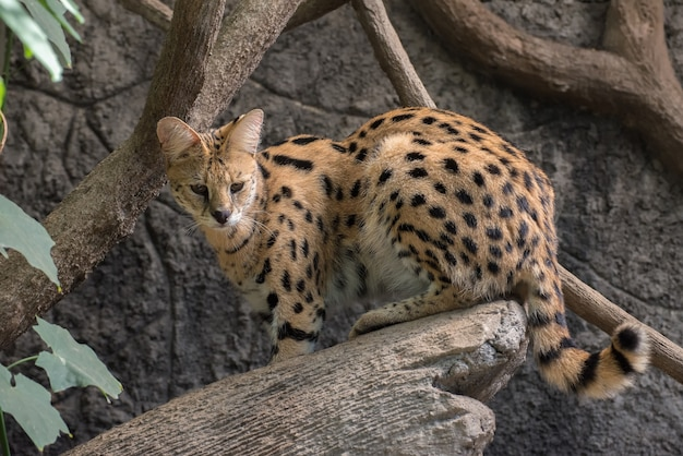 A serval cat climbing out of a tree trunk