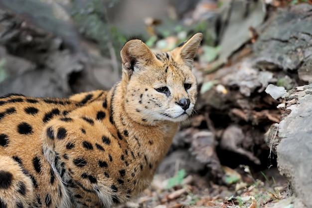 자연 환경에서 걷는 serval cat (felis serval)