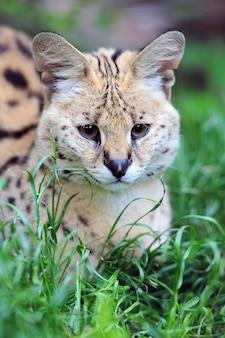 서벌 고양이(felis serval)