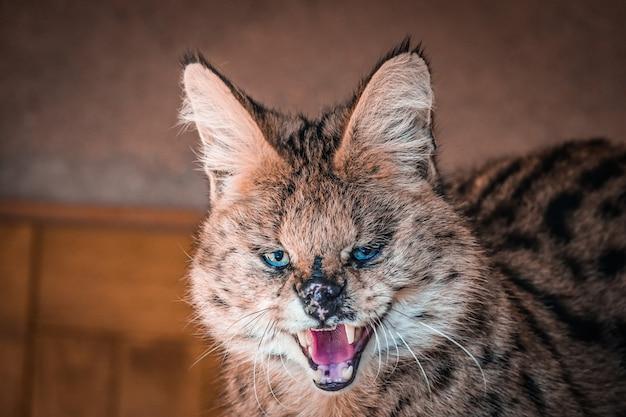 Сервал крупным планом дикая кошка рычит