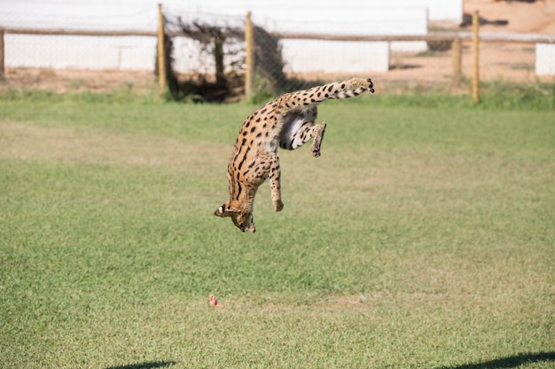 Serval, feline animal jumping high in a grass area hunting its prey.