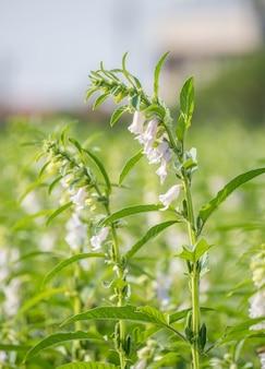 Sesame field with beautiful sesame flowers in taiwan