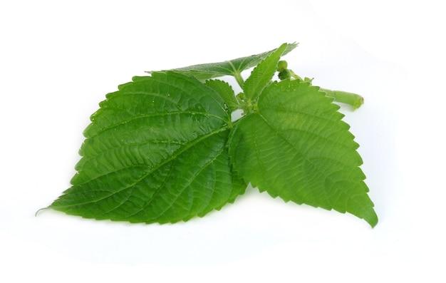 참깨 잎 또는 들깨 잎 흰색 배경에 고립