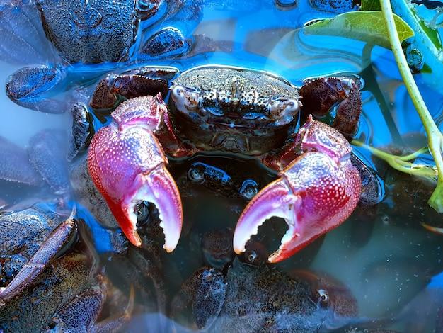 Sesarma mederi or mangrove crab in the mangrove forest