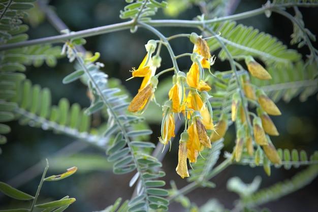 Sesbania 꽃은 아침 시간에 햇빛으로 만개합니다.