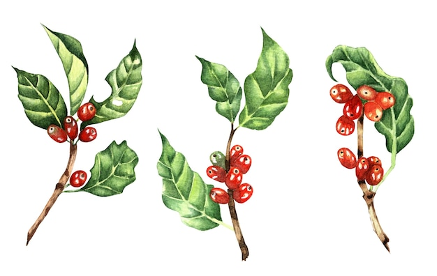 Set of coffee branches with red beans.