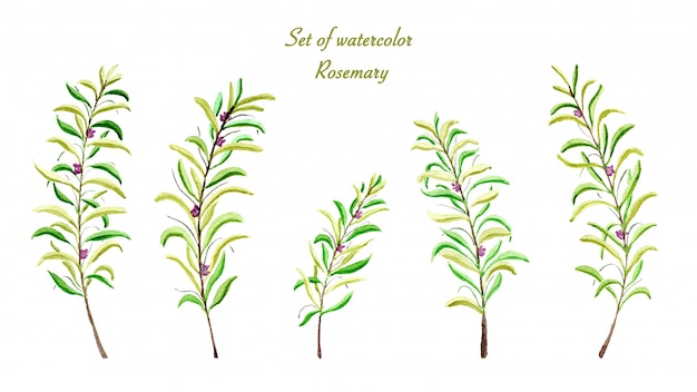 Set of collection rosemary watercolor