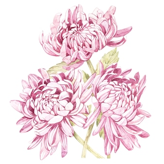 Set of hand drawn watercolor botanical illustration of flowers chrysanthemums.
