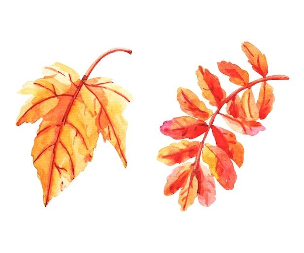 紅葉のセット、水彩画。白に孤立した葉。