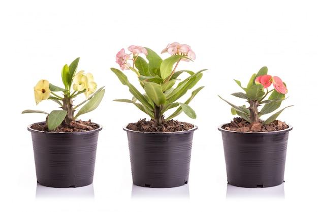 白、隔離された黒いプラスチックの庭の鉢にキリストの植物またはキリストの棘のセット