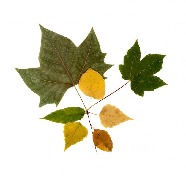 乾燥した葉の花束や生け花の白い背景のフラットレイアウトと上面に分離されたセット。黄色と緑の秋の葉のコレクションのスタジオ写真