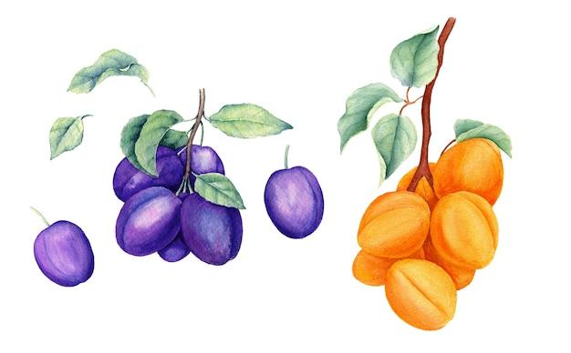 Набор фруктов старинные акварельные ботанические иллюстрации