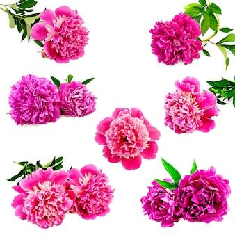 Набор розовых пионов с зелеными листьями, изолированные на белом фоне