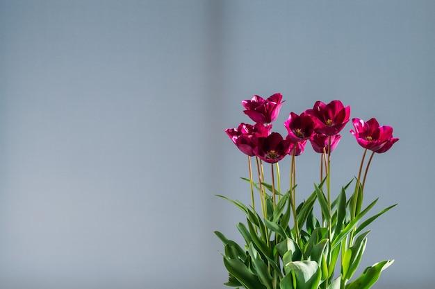 자연 채광에 화분에 심은 튤립의 집합입니다. 집 식물