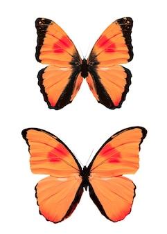 흰색 배경에 고립 된 붉은 열 대 나비의 집합입니다. 고품질 사진