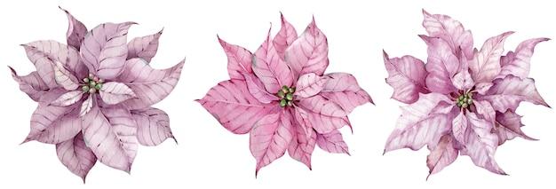 Набор акварельных рождественских розовых цветов пуансеттии